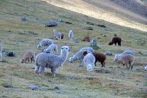 alpacas herd
