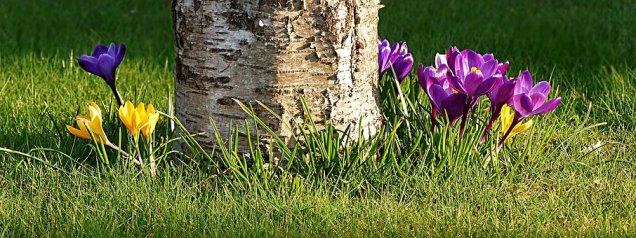 crocus planting