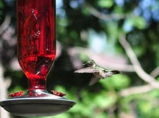 Female hummingbird at feeder