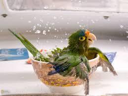 parrot bowl bath