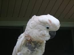 plucking parrot
