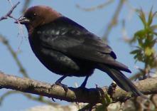 MA bird