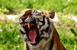 tiger bengal