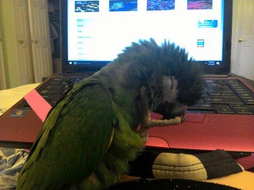 Macaw sleeping