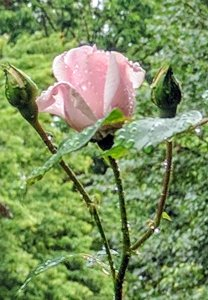rose from our arbor - beautiful