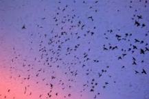 Grackle swarm