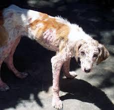 Dog emaciated